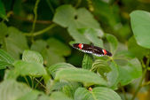 Postman Butterfly (heliconius melpomene) — Stock Photo