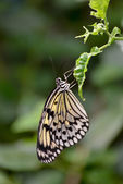 Rice Paper butterfly (Idea leuconoe) — Stock Photo