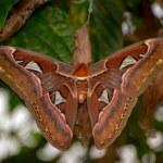 Atlas moth (Attacus atlas) — Stock Photo