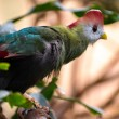 Stock Photo: Red-crested Turaco (Tauraco erythrolophus)