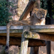 Stock Photo: Asiatic lion (Pantherleo persica)