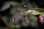 Glasswinged Butterflies (Greta oto) — Stock Photo
