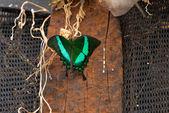 Emerald Swallowtail Butterfly (Papilio palinurus) — Stock Photo
