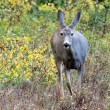 Stock Photo: Mule Deer (Odocoileus hemionus)