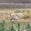 Pronghorn (Antilocapra americana) — Stock Photo