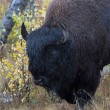 Stock Photo: Americbison (Bison bison)