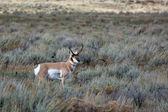Pronghorn (Antilocapra americana) — Stock Photo