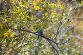 Western Wood-Pewee (Contopus sordidulus) — Stock Photo