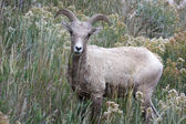 Bighorn Sheep (Ovis canadensis) — Stok fotoğraf