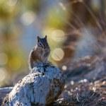 Close-up of a Chipmunk at Bryce Canyon — Stock Photo #39403831