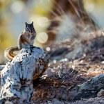 Close-up of a Chipmunk at Bryce Canyon — Stock Photo #39403857