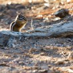 Close-up of a Chipmunk at Bryce Canyon — Stock Photo #39403907