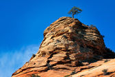 Pine tree growing on a rocky outcrop in Zion National Park — Stock Photo