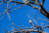Red Crossbill (Loxia curvirostra) at Bryce Canyon National Park — Stock Photo