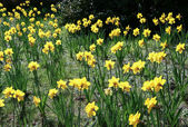 Host of golden daffodils — Stock Photo