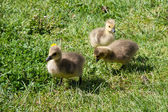 Canada Goose (branta canadensis) Goslings on the banks of the ri — Stock Photo