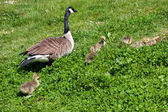 Canada Goose (branta canadensis) and goslings on the banks of th — Stock Photo