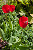 White Crab spider (misumena vatiaon) on red tulips in an english — Stock Photo