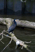 Great Cormorant (Phalacrocorax carbo) — Stock Photo