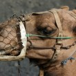 Camel portrait — Stock Photo