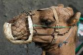 骆驼肖像 — 图库照片