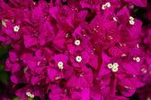 Close-up of a Bougainvillea (bougainvillea glabra) plant in Gran Canaria — Stock Photo