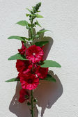 Red Hollyhock (alcea) flowering against a wall in Strasbourg — Stock Photo