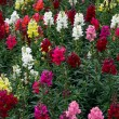 Stock Photo: Bed of multicoloured Antirrhinums