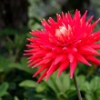 Beautiful red dahlia on display at Butchart Gardens — Stock Photo