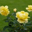 Stock Photo: Beautiful yellow Roses (rosa) on display at Butchart Gardens