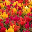 Celosia bedding plants outside the British Colombia Parliament b — Stock Photo #40119765