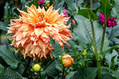 A magnificent orange dahlia in flower at Butchart Gardens — Stock Photo