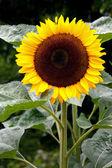Sunflower (helanthus annuus) on display at Butchart Gardens — Stock Photo