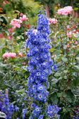 Beautiful blue Delphiniums on display at Butchart Gardens — Stock Photo