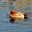 Stock Photo: EurasiWigeon (anas penelope)