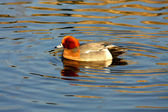 Eurasian Wigeon (anas penelope) — Photo