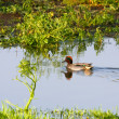 Stock Photo: Common Teal (Anas crecca)