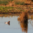 Eurasian Wigeon (anas penelope) on a pond in Essex — Stock Photo #40282827