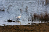 Egret at Dungeness — Stock Photo
