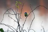 Blue Tit (cyanistes caeruleus) perching on a briar — Stock Photo