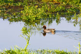 Common Teal (Anas crecca) — Zdjęcie stockowe