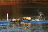 Attacking Greylag Goose (anser anser).jpg — Stock Photo