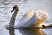 Mute Swan (cygnus olor) at Warnham Nature Reserve — Stock Photo