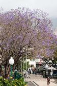 Blue Jacaranda (jacaranda mimosifolia) flowering in Funchal Madeira — Stock Photo
