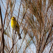 Canary (serinus canaria) clinging to tree — Stock Photo #40494171