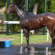 Stock fotografie: Cooling down racehorse after race