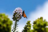 Monarch butterfly (Danaus plexippus) — Foto de Stock