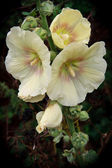 Hollyhock alcea flowering in Happisburgh Norfolk — Stock Photo