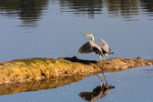 Grey Heron just landed — Stock Photo