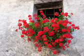 Red Geranium in a wall basket below window of house in Cogne Ita — Stock Photo
